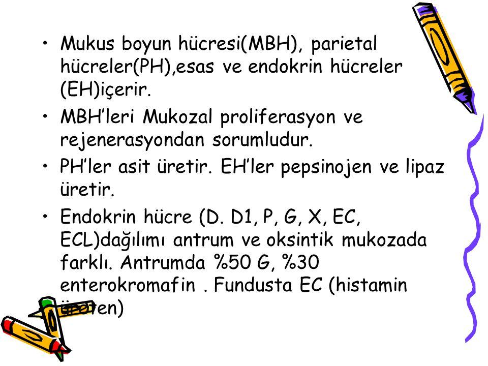 Mukus boyun hücresi(MBH), parietal hücreler(PH),esas ve endokrin hücreler (EH)içerir. MBH'leri Mukozal proliferasyon ve rejenerasyondan sorumludur. PH