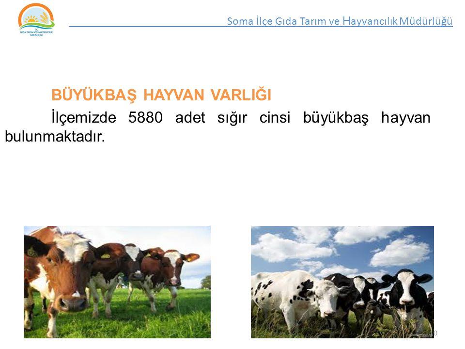BÜYÜKBAŞ HAYVAN VARLIĞI İlçemizde 5880 adet sığır cinsi büyükbaş hayvan bulunmaktadır.