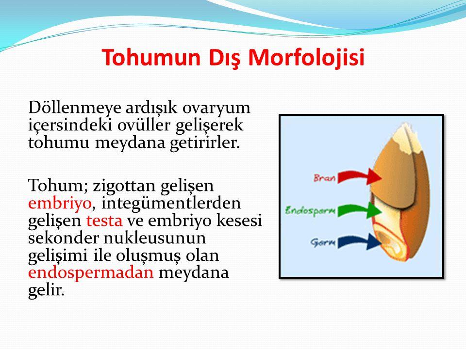 Tohumun Dış Morfolojisi Döllenmeye ardışık ovaryum içersindeki ovüller gelişerek tohumu meydana getirirler.