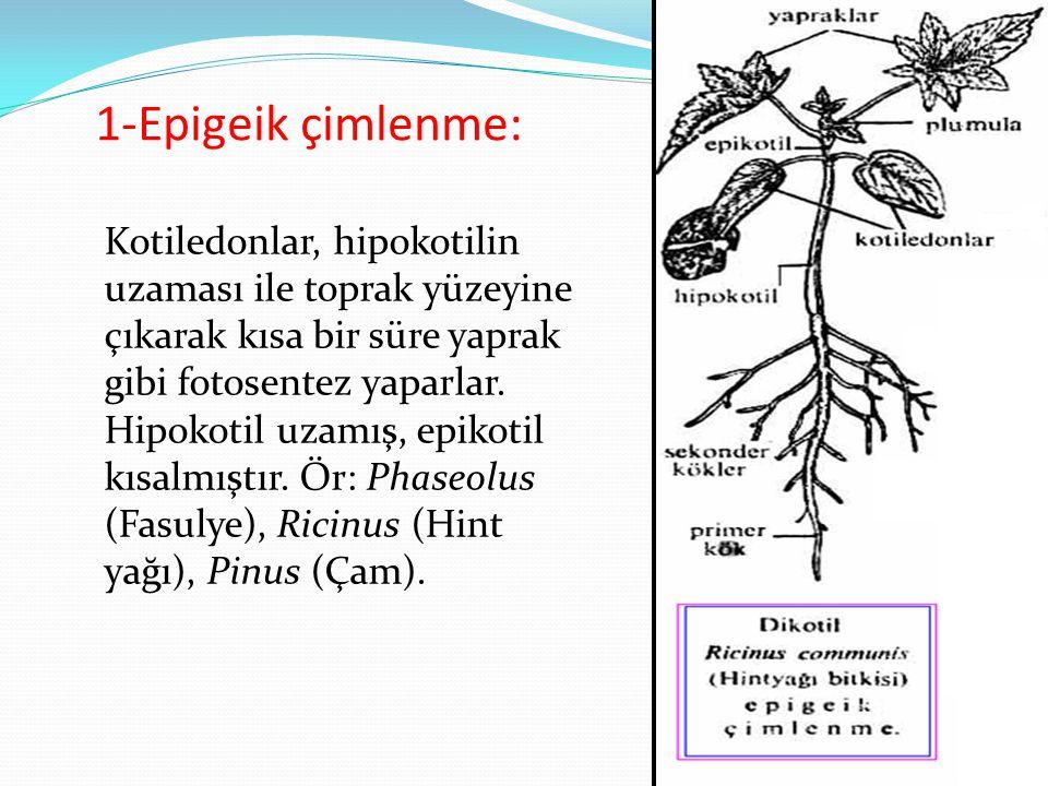1-Epigeik çimlenme: Kotiledonlar, hipokotilin uzaması ile toprak yüzeyine çıkarak kısa bir süre yaprak gibi fotosentez yaparlar. Hipokotil uzamış, epi