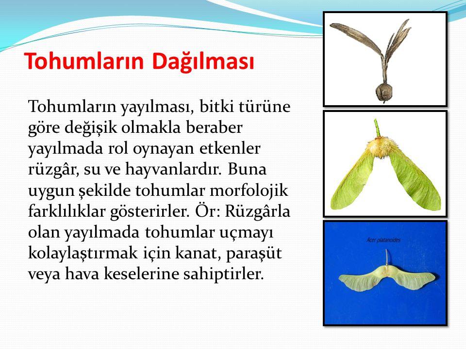 Tohumların Dağılması Tohumların yayılması, bitki türüne göre değişik olmakla beraber yayılmada rol oynayan etkenler rüzgâr, su ve hayvanlardır. Buna u