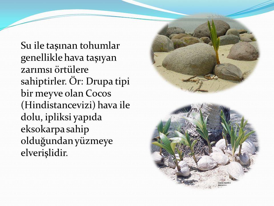 Su ile taşınan tohumlar genellikle hava taşıyan zarımsı örtülere sahiptirler. Ör: Drupa tipi bir meyve olan Cocos (Hindistancevizi) hava ile dolu, ipl