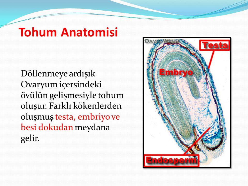Tohum Anatomisi Döllenmeye ardışık Ovaryum içersindeki övülün gelişmesiyle tohum oluşur. Farklı kökenlerden oluşmuş testa, embriyo ve besi dokudan mey