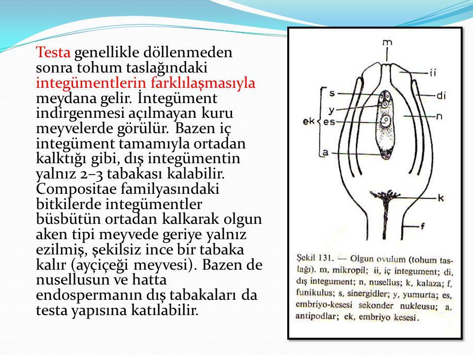 Testa genellikle döllenmeden sonra tohum taslağındaki integümentlerin farklılaşmasıyla meydana gelir. İntegüment indirgenmesi açılmayan kuru meyvelerd