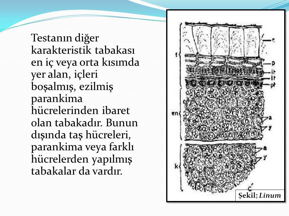 Testanın diğer karakteristik tabakası en iç veya orta kısımda yer alan, içleri boşalmış, ezilmiş parankima hücrelerinden ibaret olan tabakadır. Bunun
