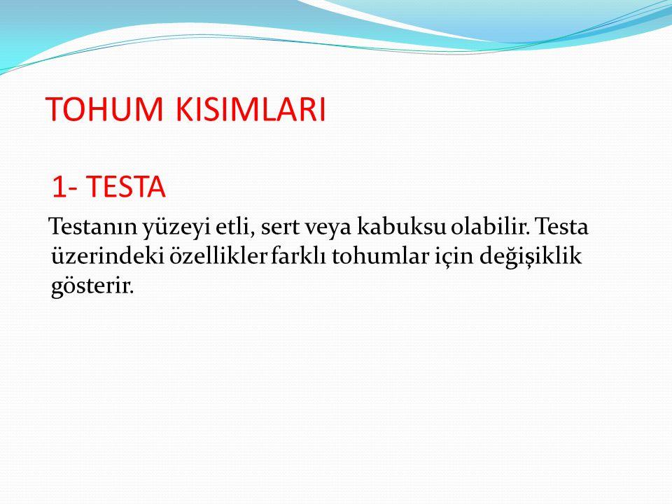 TOHUM KISIMLARI 1- TESTA Testanın yüzeyi etli, sert veya kabuksu olabilir. Testa üzerindeki özellikler farklı tohumlar için değişiklik gösterir.