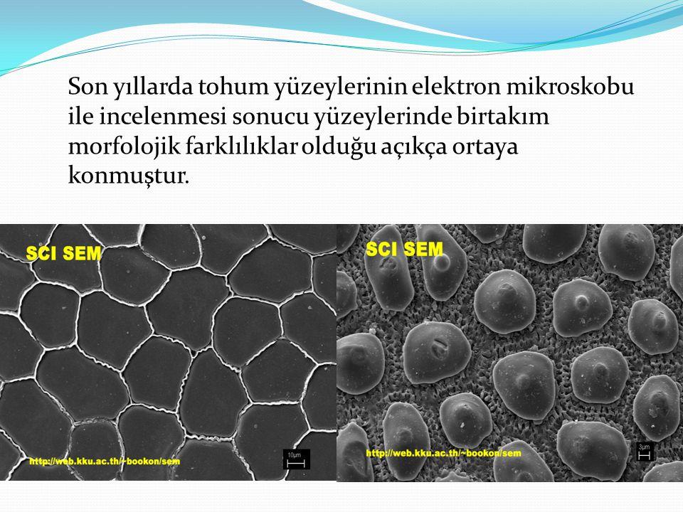 Son yıllarda tohum yüzeylerinin elektron mikroskobu ile incelenmesi sonucu yüzeylerinde birtakım morfolojik farklılıklar olduğu açıkça ortaya konmuştur.