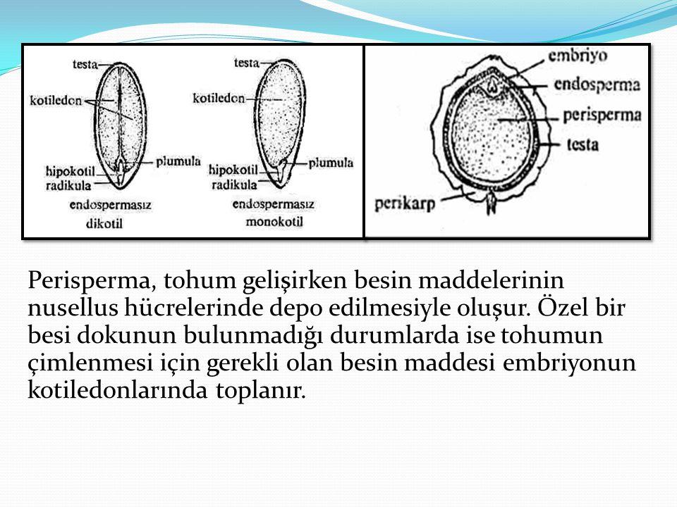 Perisperma, tohum gelişirken besin maddelerinin nusellus hücrelerinde depo edilmesiyle oluşur. Özel bir besi dokunun bulunmadığı durumlarda ise tohumu