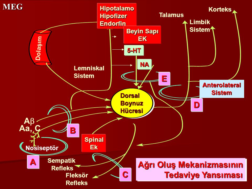 MEG Talamus HipotalamoHipofizerEndorfin Limbik Sistem Korteks Dolaşım DorsalBoynuzHücresi SpinalEk Nosiseptör Sempatik Refleks Fleksör Refleks Anterol