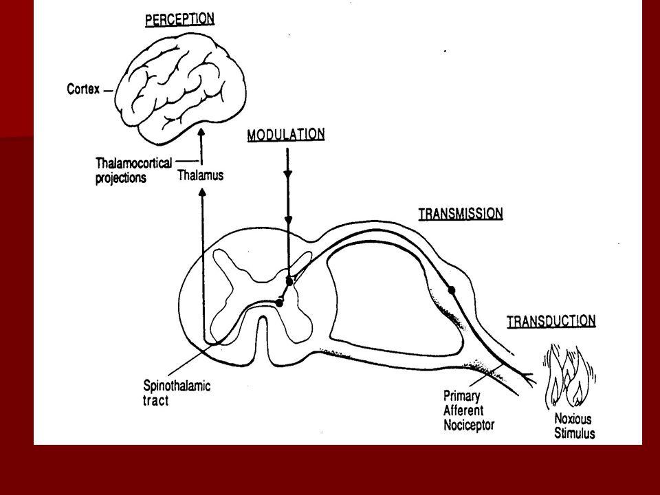 Nosiseptörlerin Sınıflandırılması Mekanik nosiseptörler Mekanik nosiseptörler Mekono-termal nosiseptörler Mekono-termal nosiseptörler Polimodal nosiseptörler Polimodal nosiseptörler Myelinli A Delta LifleriMyelinsizİnce A Beta ve C Lifleri AkutKeskinBatıcıLokalize Birincil Ağrı KronikDiffüzYanıcıDonuk İkincil Ağrı İleti Hızı 5 – 30 m/sn İleti Hızı 0.5 - 2 m/sn