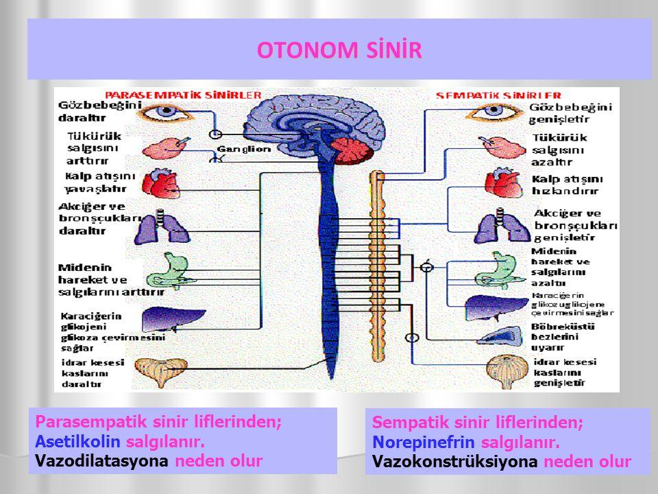 OTONOM SİNİR Sempatik sinir liflerinden; Norepinefrin salgılanır. Vazokonstrüksiyona neden olur Parasempatik sinir liflerinden; Asetilkolin salgılanır