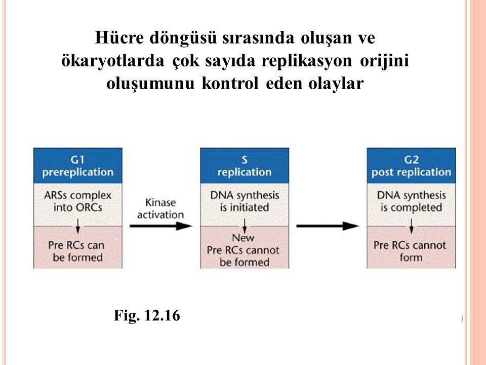 Hücre döngüsü sırasında oluşan ve ökaryotlarda çok sayıda replikasyon orijini oluşumunu kontrol eden olaylar Fig. 12.16