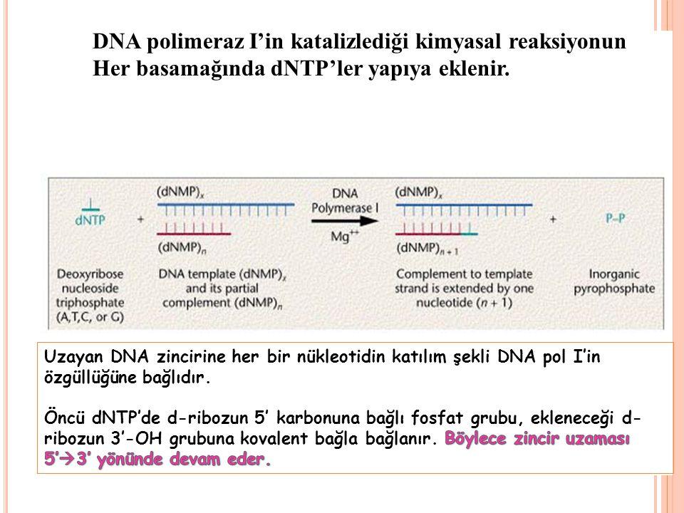 DNA polimeraz I'in katalizlediği kimyasal reaksiyonun Her basamağında dNTP'ler yapıya eklenir.