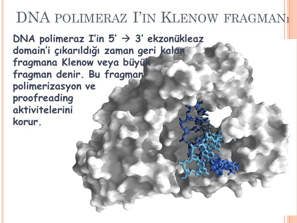 DNA POLIMERAZ I' IN K LENOW FRAGMANı DNA polimeraz I'in 5′  3′ ekzonükleaz domain'i çıkarıldığı zaman geri kalan fragmana Klenow veya büyük fragman d