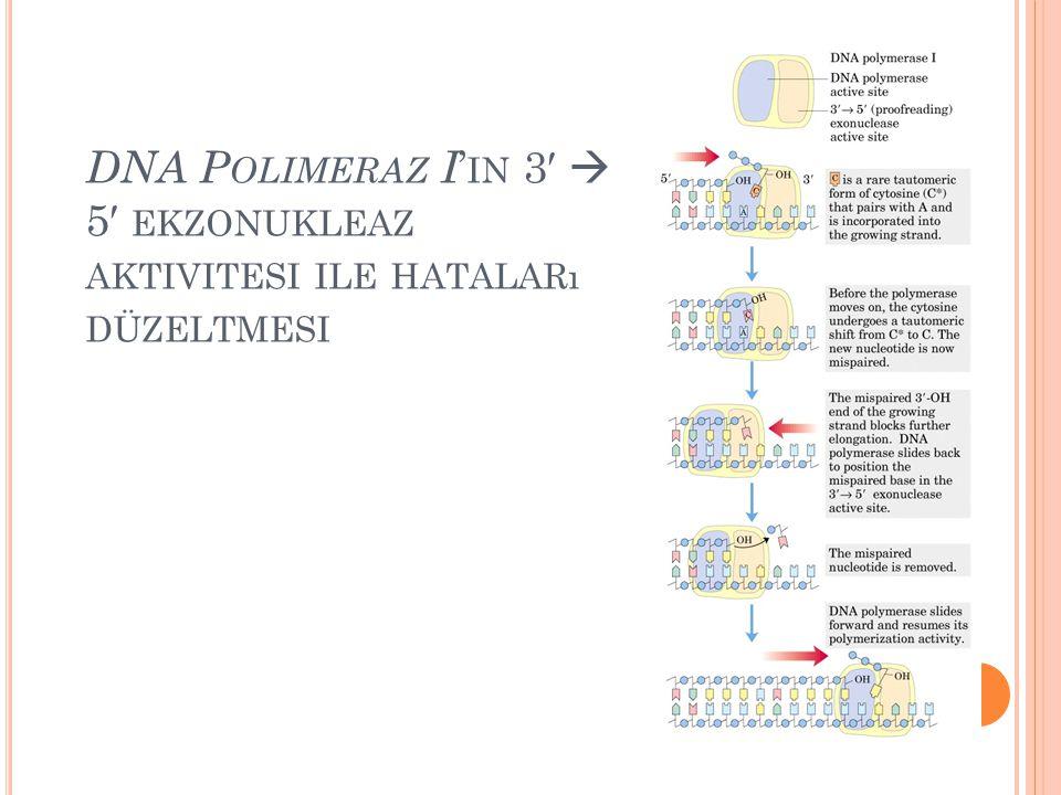 DNA P OLIMERAZ I ' IN 3′  5′ EKZONUKLEAZ AKTIVITESI ILE HATALARı DÜZELTMESI