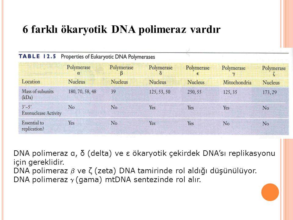 6 farklı ökaryotik DNA polimeraz vardır DNA polimeraz α, δ (delta) ve ε ökaryotik çekirdek DNA'sı replikasyonu için gereklidir. DNA polimeraz  ve ζ (