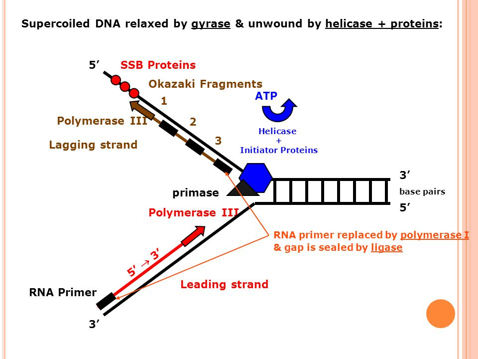 3 Polymerase III 5'  3' Leading strand base pairs 5' 3' Supercoiled DNA relaxed by gyrase & unwound by helicase + proteins: Helicase + Initiator Prot