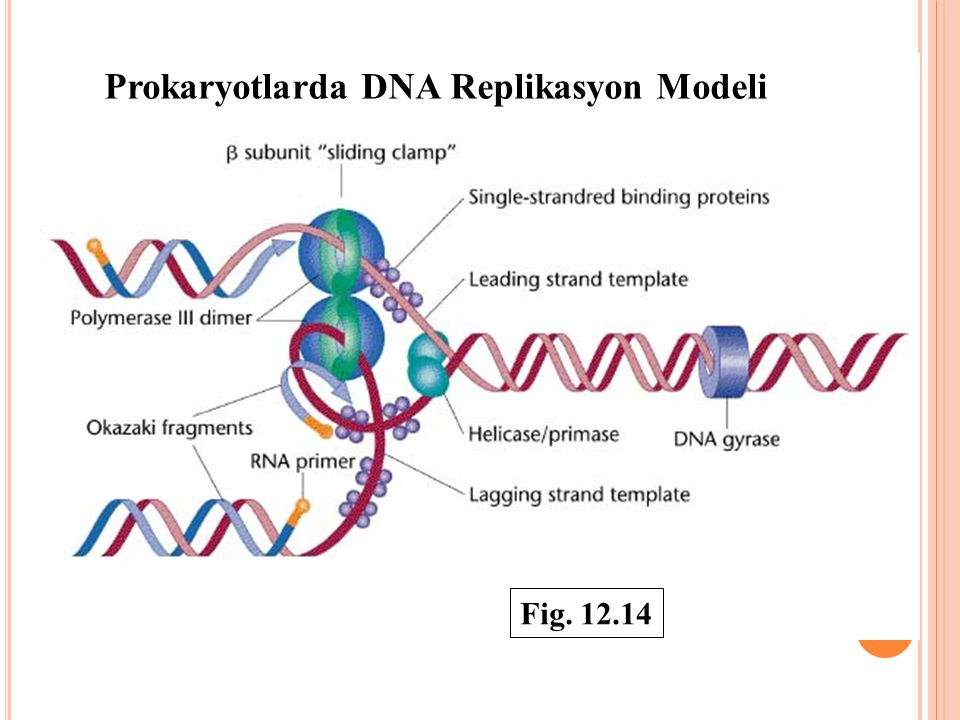 Prokaryotlarda DNA Replikasyon Modeli Fig. 12.14