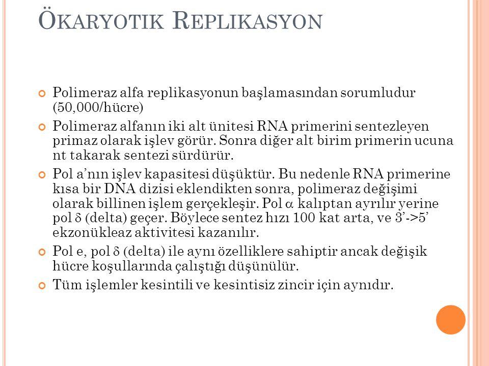 Ö KARYOTIK R EPLIKASYON Polimeraz alfa replikasyonun başlamasından sorumludur (50,000/hücre) Polimeraz alfanın iki alt ünitesi RNA primerini sentezley