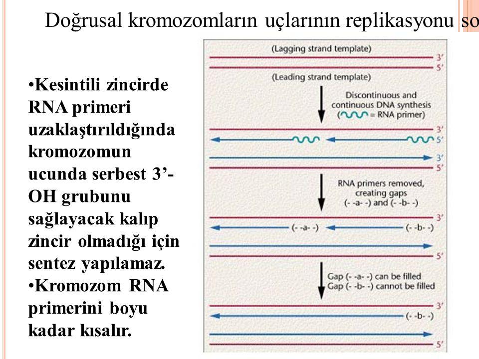 Doğrusal kromozomların uçlarının replikasyonu sorunludur Kesintili zincirde RNA primeri uzaklaştırıldığında kromozomun ucunda serbest 3'- OH grubunu s