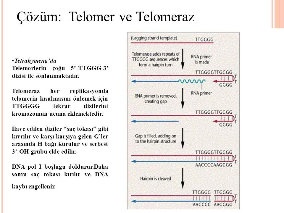 Çözüm: Telomer ve Telomeraz Tetrahymena'da Telemorlerin çoğu 5'-TTGGG-3' dizisi ile sonlanmaktadır. Telomeraz her replikasyonda telomerin kısalmasını