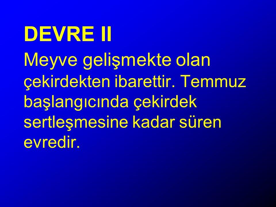 DEVRE II Meyve gelişmekte olan çekirdekten ibarettir.