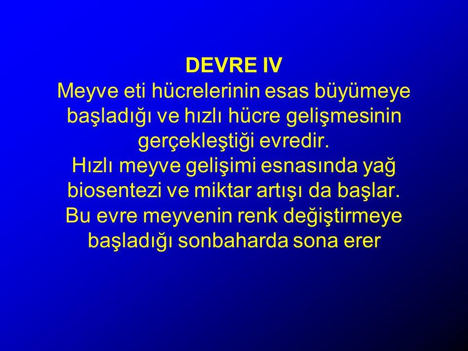 DEVRE IV Meyve eti hücrelerinin esas büyümeye başladığı ve hızlı hücre gelişmesinin gerçekleştiği evredir.