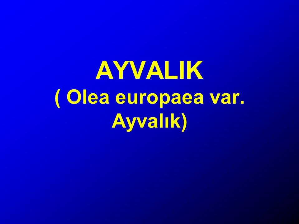 AYVALIK ( Olea europaea var. Ayvalık)