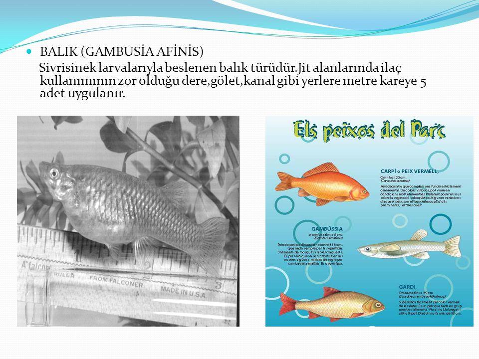 BALIK (GAMBUSİA AFİNİS) Sivrisinek larvalarıyla beslenen balık türüdür.Jit alanlarında ilaç kullanımının zor olduğu dere,gölet,kanal gibi yerlere metre kareye 5 adet uygulanır.