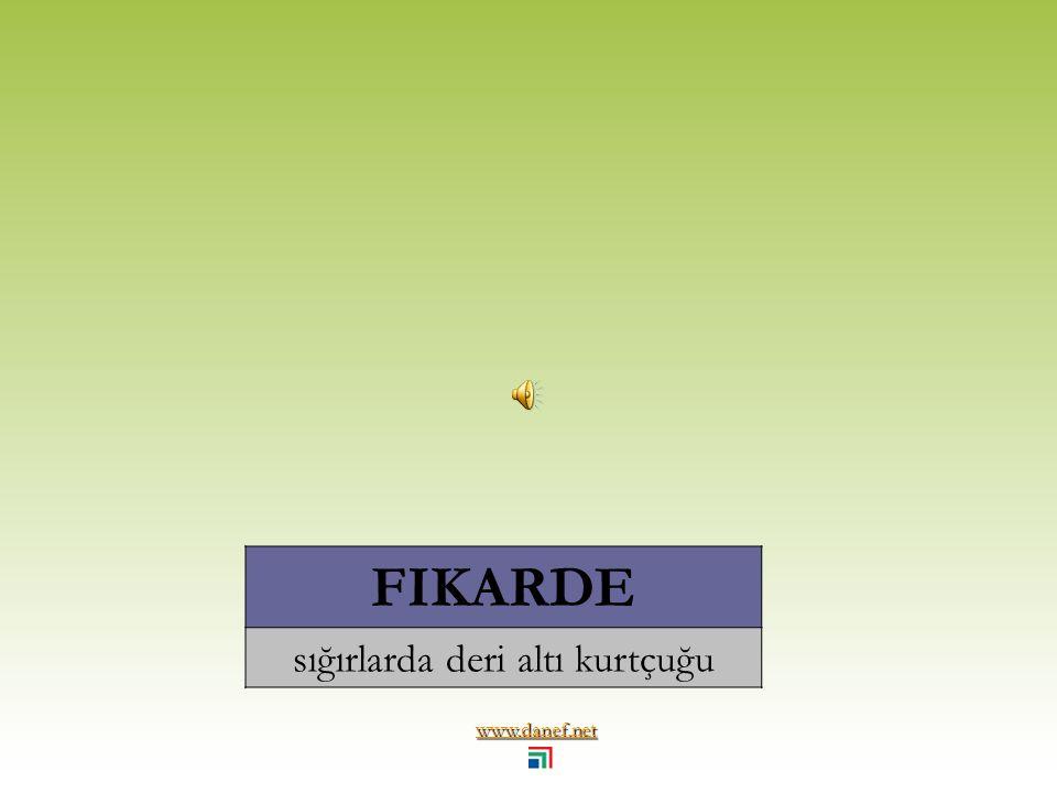 www.danef.net ĆE Ṫ ARKO tesbih böceği... earwig