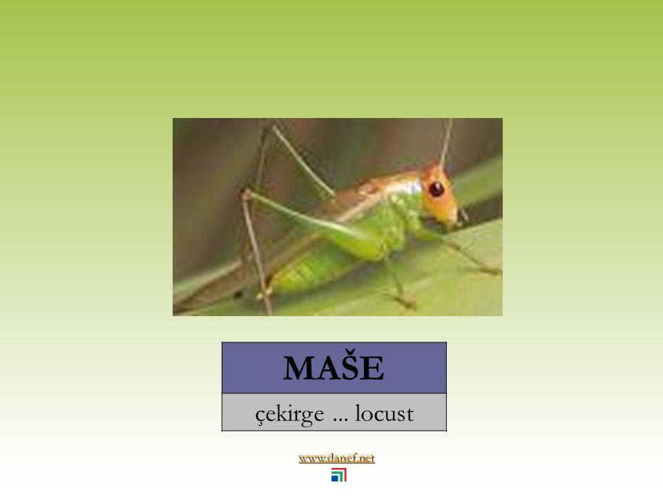 www.danef.net MAŞÜ`EH Ateş böceği