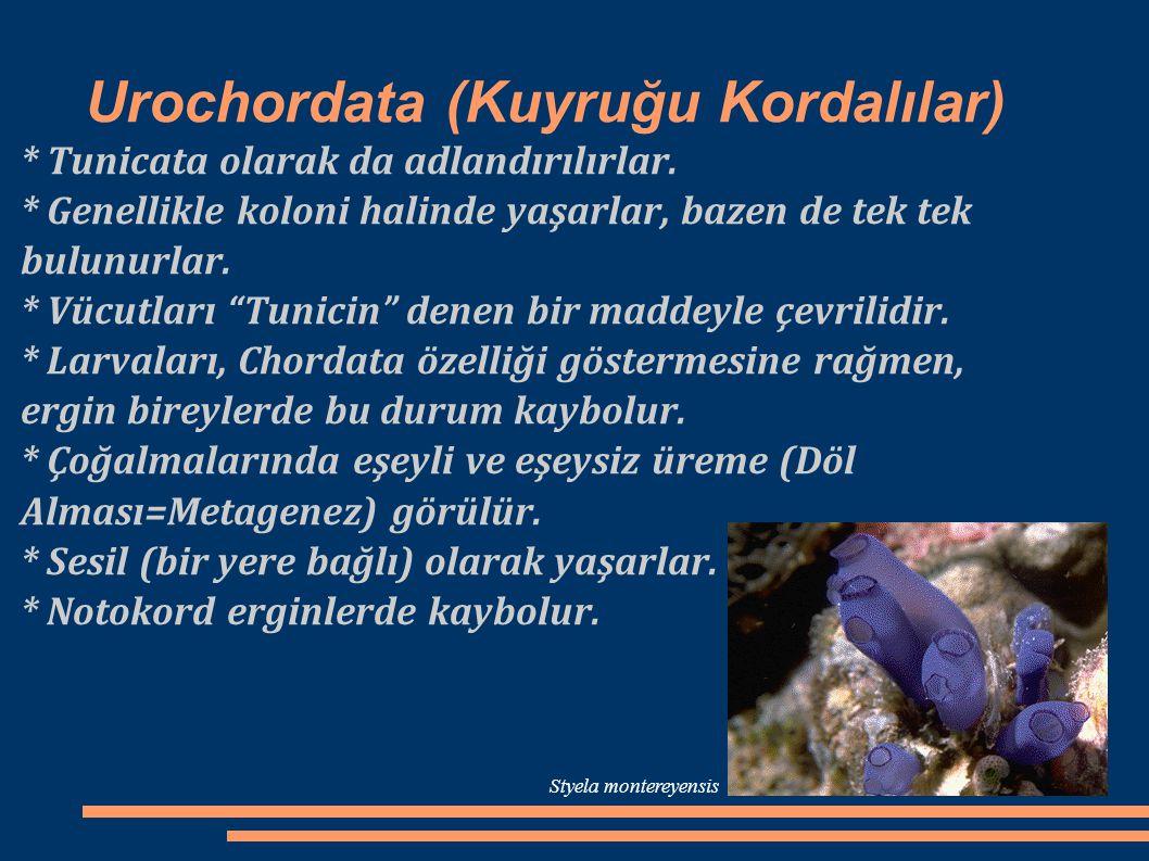 Urochordata (Kuyruğu Kordalılar) * Tunicata olarak da adlandırılırlar. * Genellikle koloni halinde yaşarlar, bazen de tek tek bulunurlar. * Vücutları