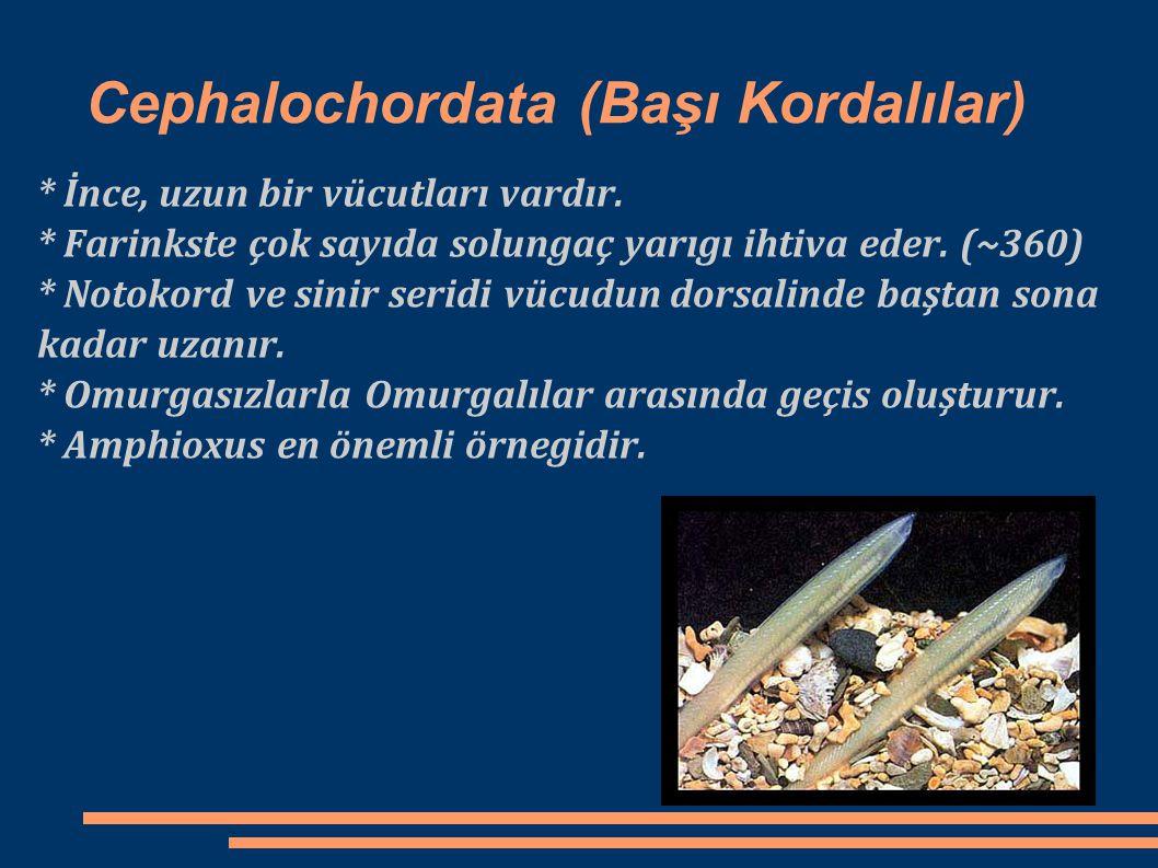 Cephalochordata (Başı Kordalılar) * İnce, uzun bir vücutları vardır. * Farinkste çok sayıda solungaç yarıgı ihtiva eder. (~360) * Notokord ve sinir se