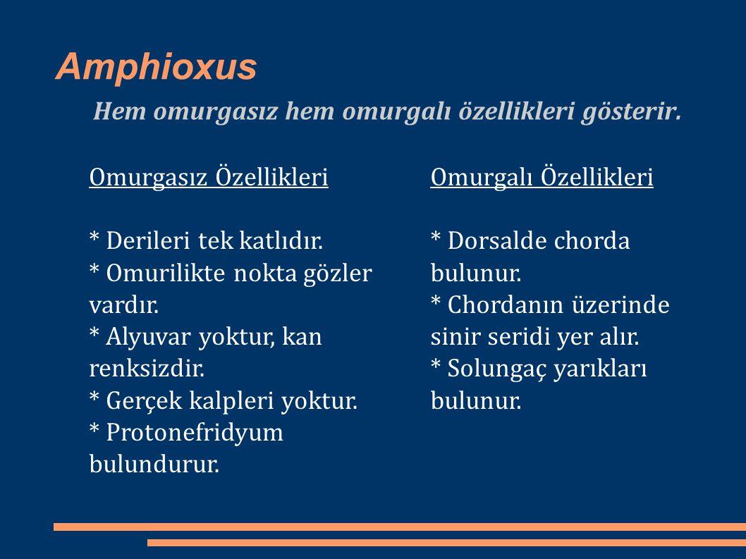 Amphioxus Hem omurgasız hem omurgalı özellikleri gösterir. Omurgalı Özellikleri * Dorsalde chorda bulunur. * Chordanın üzerinde sinir seridi yer alır.