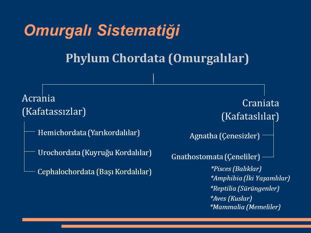 Omurgalı Sistematiği Phylum Chordata (Omurgalılar) Acrania (Kafatassızlar) Craniata (Kafataslılar) Hemichordata (Yarıkordalılar) Urochordata (Kuyruğu