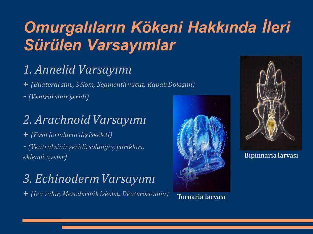 Omurgalıların Kökeni Hakkında İleri Sürülen Varsayımlar 1. Annelid Varsayımı + (Bilateral sim., Sölom, Segmentli vücut, Kapalı Dolaşım) - (Ventral sin