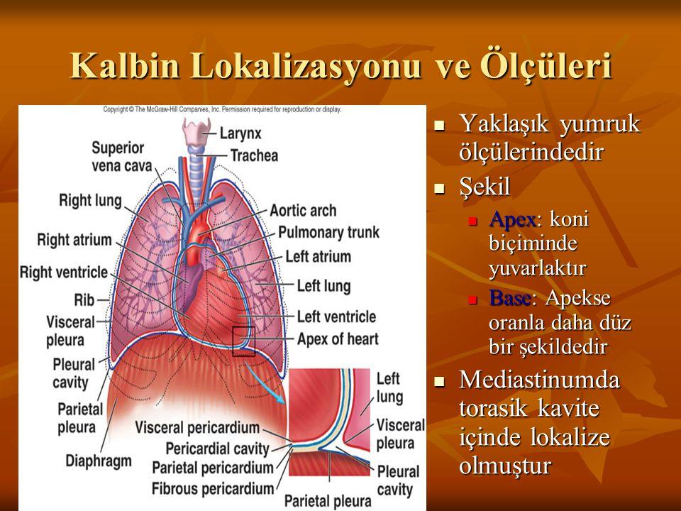 Kalbin Lokalizasyonu ve Ölçüleri Yaklaşık yumruk ölçülerindedir Yaklaşık yumruk ölçülerindedir Şekil Şekil Apex: koni biçiminde yuvarlaktır Base: Apek