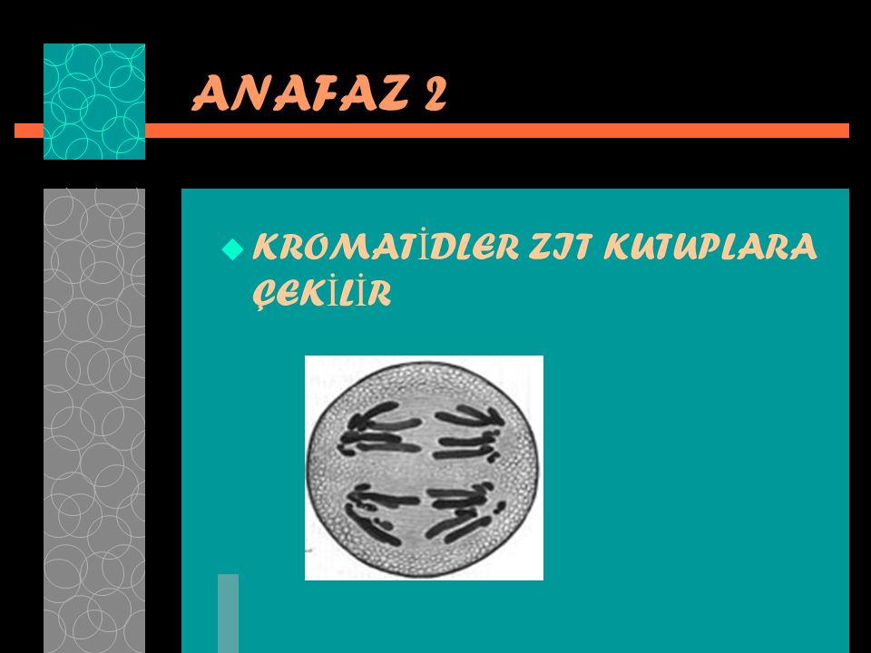 ANAFAZ 2  KROMAT İ DLER ZIT KUTUPLARA ÇEK İ L İ R