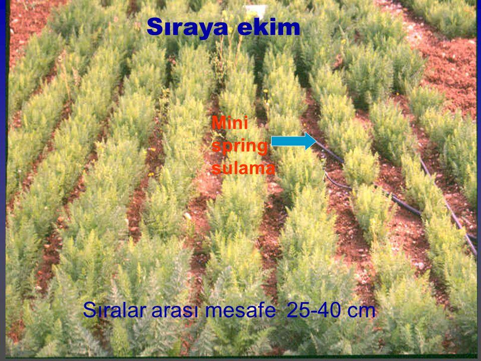 Sıraya ekim Sıralar arası mesafe 25-40 cm Mini spring sulama