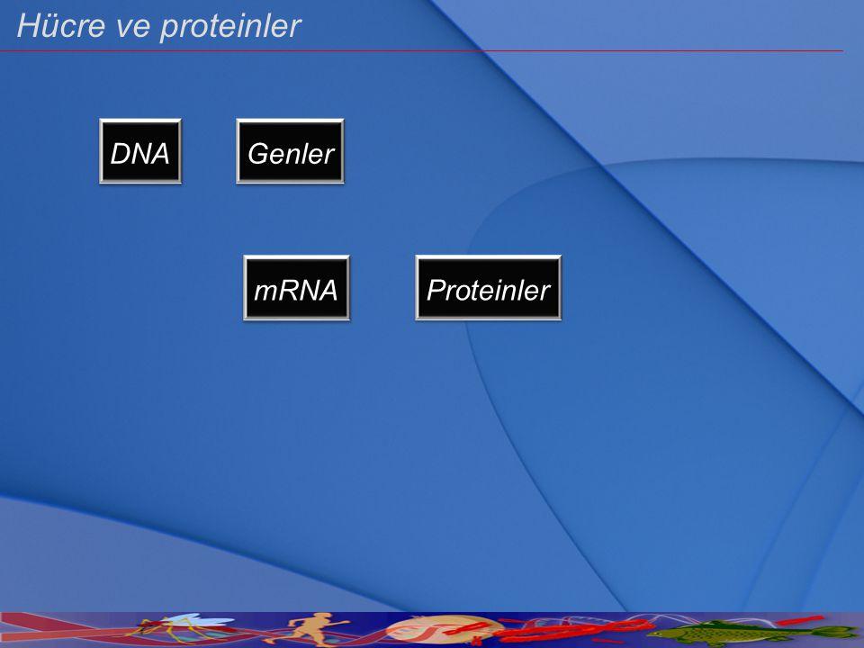 DNA Genler mRNA Proteinler Hücre ve proteinler