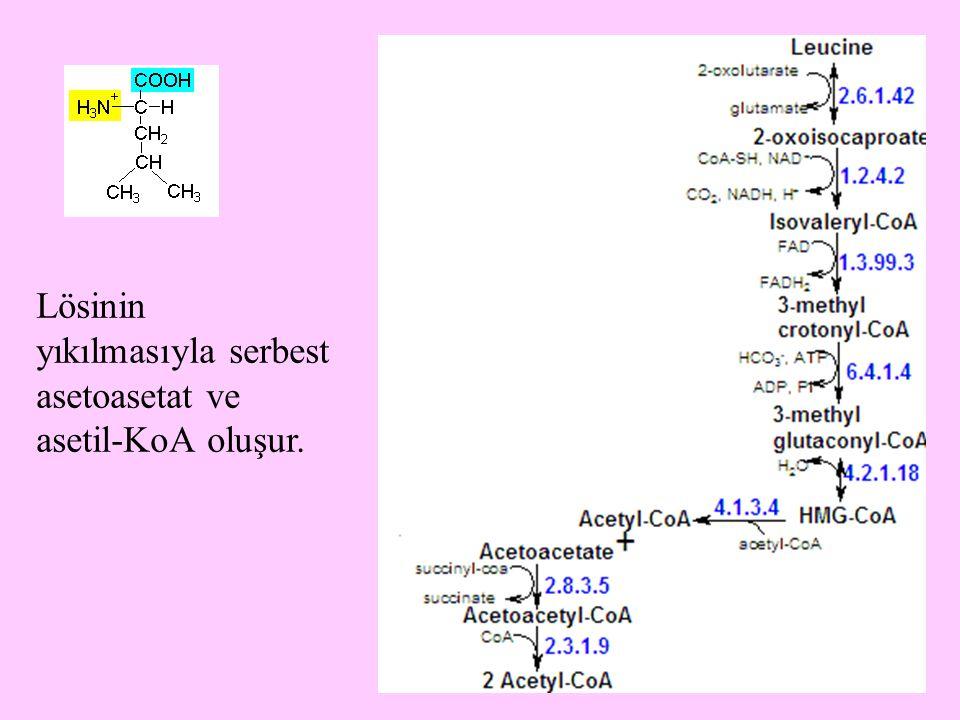 11 Lösinin yıkılmasıyla serbest asetoasetat ve asetil-KoA oluşur.