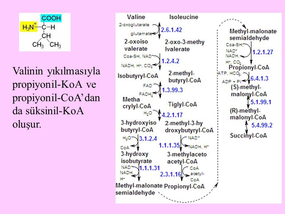 13 Valinin yıkılmasıyla propiyonil-KoA ve propiyonil-CoA'dan da süksinil-KoA oluşur.