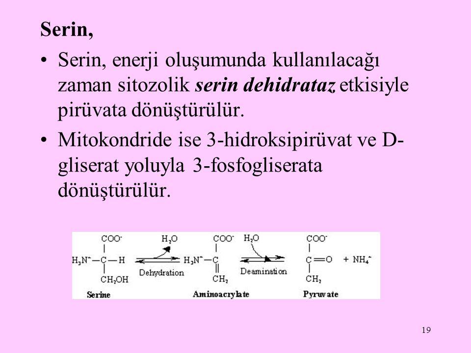 19 Serin, Serin, enerji oluşumunda kullanılacağı zaman sitozolik serin dehidrataz etkisiyle pirüvata dönüştürülür. Mitokondride ise 3-hidroksipirüvat