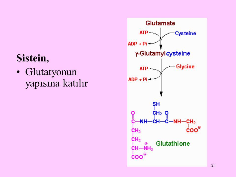 24 Sistein, Glutatyonun yapısına katılır