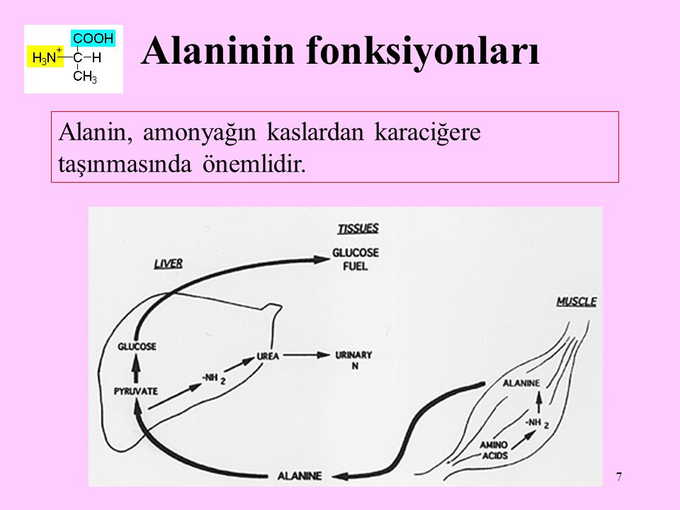 7 Alaninin fonksiyonları Alanin, amonyağın kaslardan karaciğere taşınmasında önemlidir.