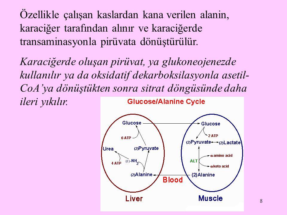 8 Özellikle çalışan kaslardan kana verilen alanin, karaciğer tarafından alınır ve karaciğerde transaminasyonla pirüvata dönüştürülür. Karaciğerde oluş