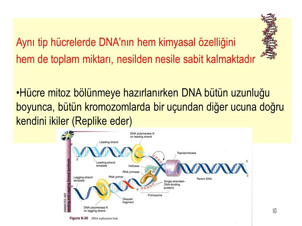 10 Aynı tip hücrelerde DNA'nın hem kimyasal özelliğini hem de toplam miktarı, nesilden nesile sabit kalmaktadır Hücre mitoz bölünmeye hazırlanırken DN