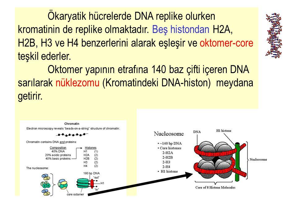 13 Ökaryatik hücrelerde DNA replike olurken kromatinin de replike olmaktadır. Beş histondan H2A, H2B, H3 ve H4 benzerlerini alarak eşleşir ve oktomer-