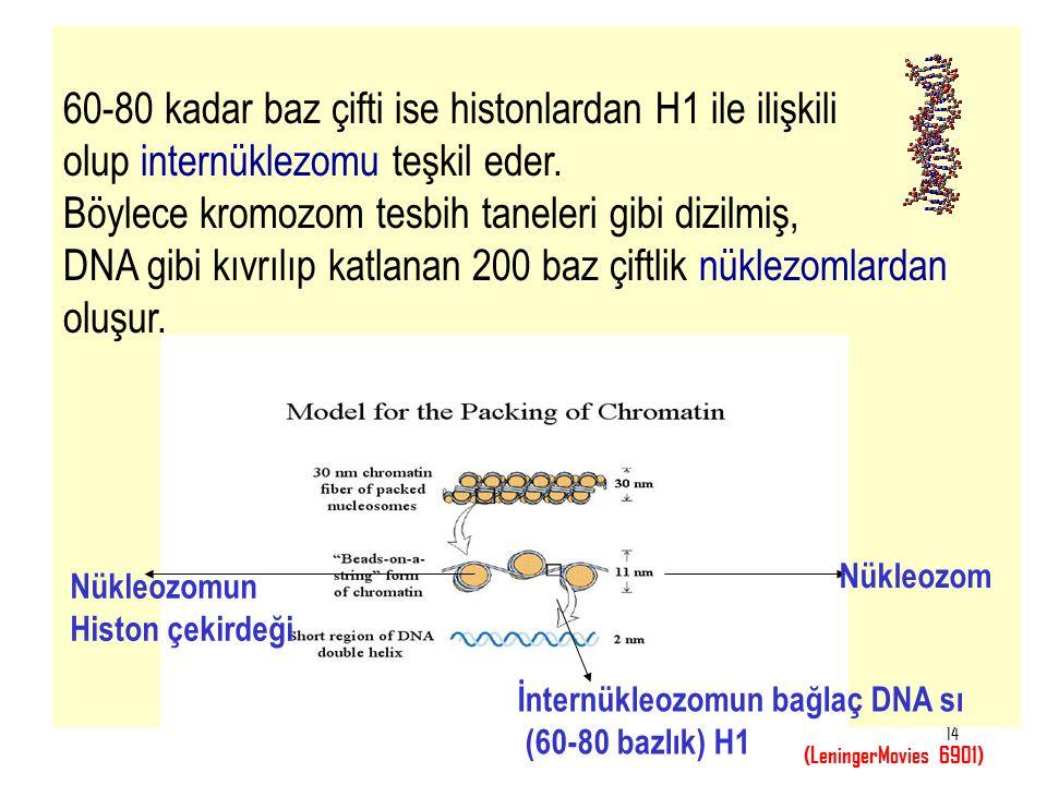 14 60-80 kadar baz çifti ise histonlardan H1 ile ilişkili olup internüklezomu teşkil eder. Böylece kromozom tesbih taneleri gibi dizilmiş, DNA gibi kı