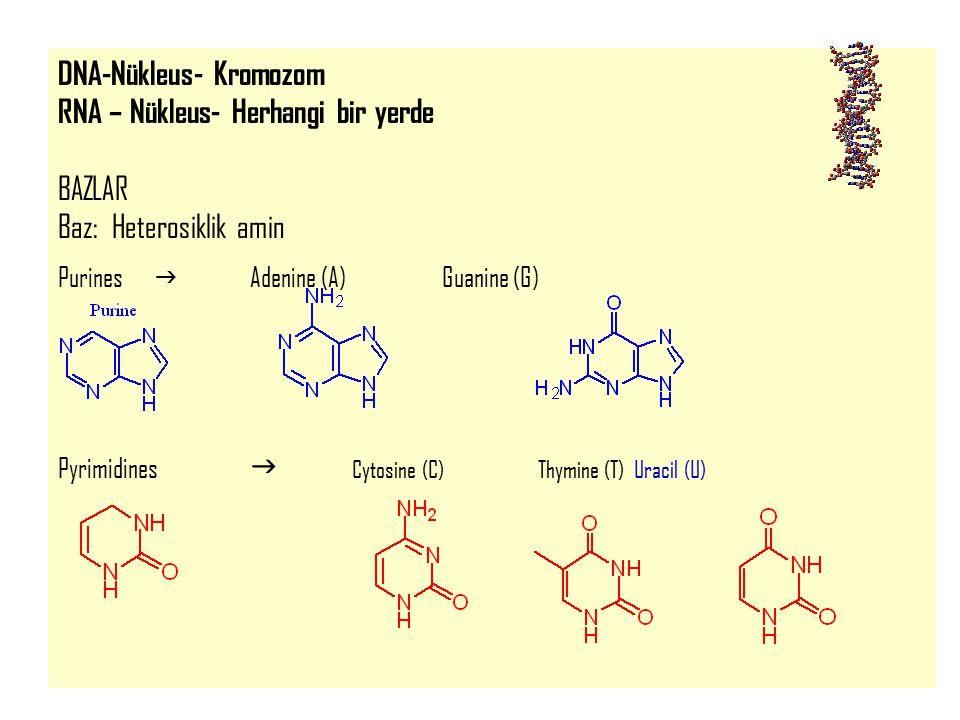 15 DNA-Nükleus- Kromozom RNA – Nükleus- Herhangi bir yerde BAZLAR Baz: Heterosiklik amin Purines  Adenine (A)Guanine (G) Pyrimidines  Cytosine (C) T
